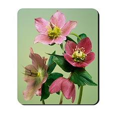 Hellebore flowers Mousepad
