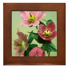 Hellebore flowers Framed Tile