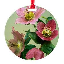 Hellebore flowers Ornament