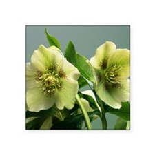 "Hellebore flowers Square Sticker 3"" x 3"""