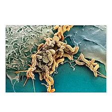 Helicobacter pylori bacte Postcards (Package of 8)