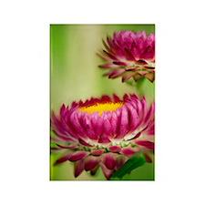 Helichrysum bracteatum Rectangle Magnet