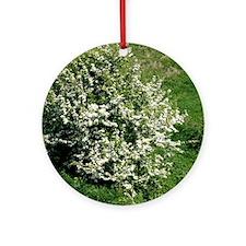 Hawthorn (Crataegus oxyacantha) Round Ornament