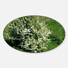 Hawthorn (Crataegus oxyacantha) Decal