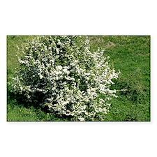 Hawthorn (Crataegus oxyacantha Decal