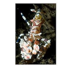 Harlequin shrimp Postcards (Package of 8)