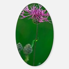 Greater knapweed (Centaurea scabios Sticker (Oval)