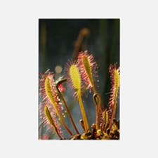 Great sundew (Drosera anglica) Rectangle Magnet
