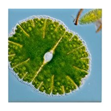 Green alga, light micrograph Tile Coaster