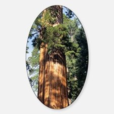Giant sequoia Decal