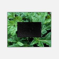 Giant hogweed (Heracleum mantegazzia Picture Frame