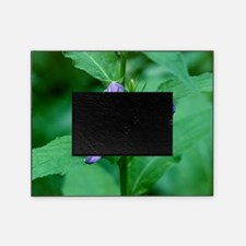 Giant bellflowers (Campanula latifol Picture Frame