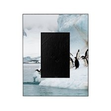 Gentoo penguins jumping into the sea Picture Frame