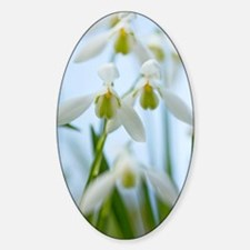 Galanthus nivalis (Snowdrops) Sticker (Oval)
