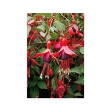 Fuchsia 'Mrs Popple' Rectangle Magnet