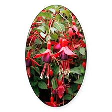 Fuchsia 'Mrs Popple' Decal