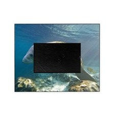 Florida manatee swimming Picture Frame