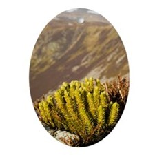 Fir clubmoss (Huperzia selago) Oval Ornament