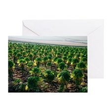 Field of Brussels sprouts Greeting Card