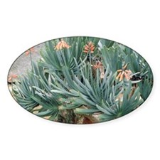 Fan aloe (Aloe plicatilis) Decal