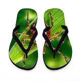 Amblyomma Flip Flops
