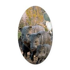 Family of Collared Peccaries Oval Car Magnet