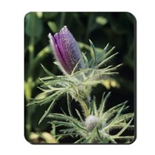 European pasque flower Mousepad