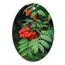 European rowan berries (Sorbus aucup Oval Ornament