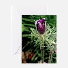 European pasque flower Greeting Card