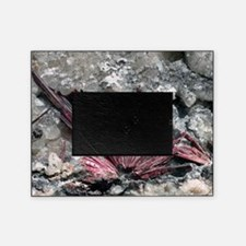 Erythrite crystals Picture Frame