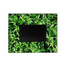 English ivy (Hedera helix 'Anita') Picture Frame
