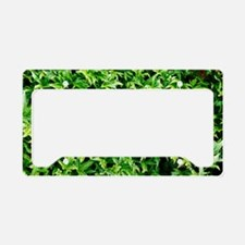 English ivy (Hedera helix 'An License Plate Holder