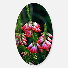 Elim heath (Erica regia) Sticker (Oval)