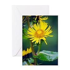Elecampane flowers (Inula helenium) Greeting Card