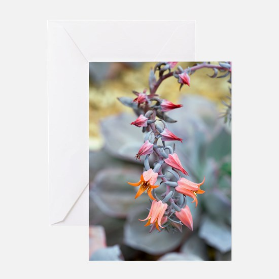 Echeveria 'Afterglow' flowers Greeting Card