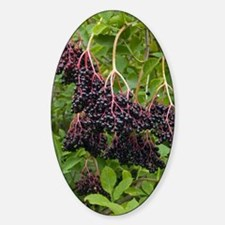 Elderberries (Sambucus nigra) Decal
