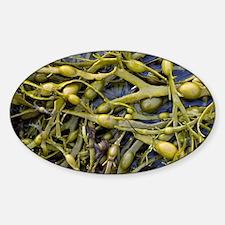 Egg-wrack seaweed Sticker (Oval)
