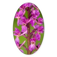 Early Purple Orchid (Orchis mascula Decal