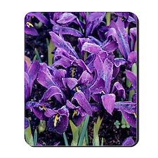 Dwarf iris 'George' flowers Mousepad