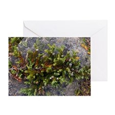 Dwarf common juniper (Juniperus comm Greeting Card