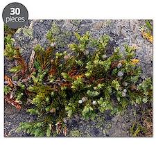 Dwarf common juniper (Juniperus communis) Puzzle