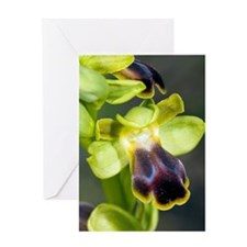 Dull Ophrys (Ophrys fusca) Greeting Card