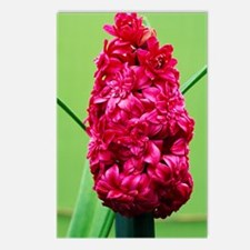 Double hyacinth 'Hollyhoc Postcards (Package of 8)