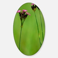 Dianthus carthusianorum Sticker (Oval)