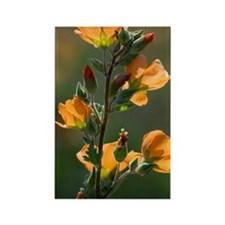 Desert globemallow (Sphaeralcea a Rectangle Magnet