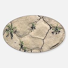 Desert rockcress (Sibara deserti) Sticker (Oval)