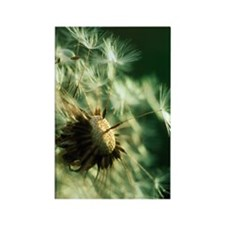 Dandelion clock Rectangle Magnet