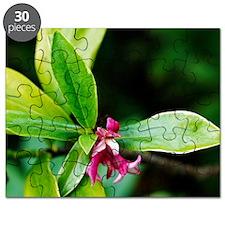 Daphne odora 'Aureomarginata' Puzzle