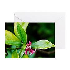 Daphne odora 'Aureomarginata' Greeting Card
