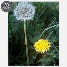 Dandelion (Taraxacum officinale) Puzzle